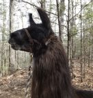 A Day At Smoky Mountain Llama Treks
