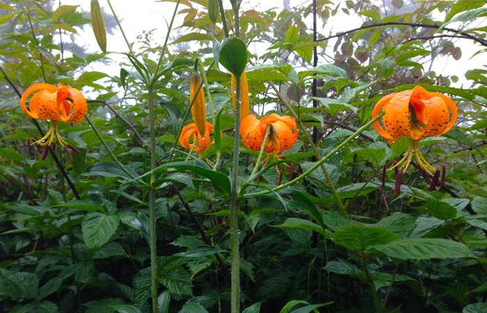 Turks Cap Lillies in the Great Smoky Mountains