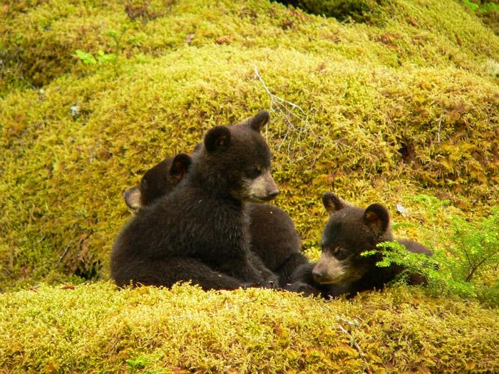 Black Bear Cubs Appalachian Bear Rescue