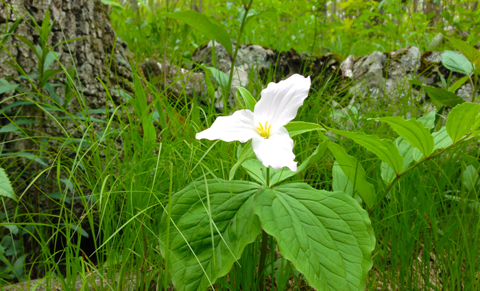 Trillium in the Great Smoky Mountains