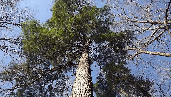 Old Growth Hemlock Smoky Mountains