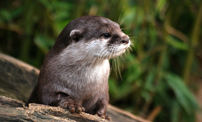 River Otters Reintroduced To Abrams Creek