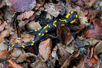 Great Smoky Mountain Salamanders
