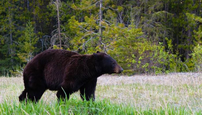 Large Black Bear in A Field
