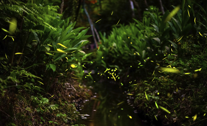 Synchronous Firefly Event in the Great Smoky Mountains National Park